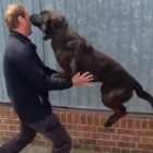 "Police Dog ""Pounces"" Trainer After Being Apart for a few Days"