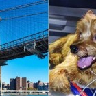 Limo Driver Stops on Brooklyn Bridge to Rescue Scared Dog from Certain Doom