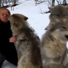 Girl Who Rescued These Wolves As Pups Five Years Ago Gets Reunion of a Lifetime