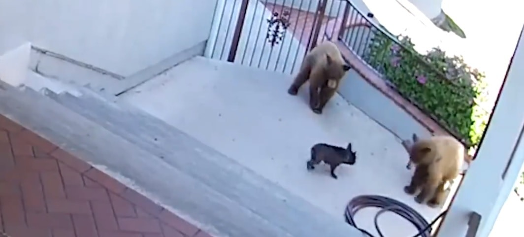 Courageous Frenchie Defends Home From Invading Bear Cubs