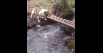 Bulldog Has Interesting Bridge Crossing Skills!