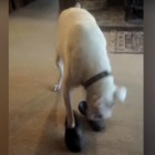 Silly Dog Puts on Crocs and Imitates a Human Walking
