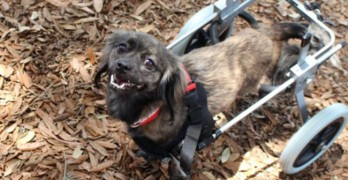 PUPDATE! Paralyzed Tampa Dog Gets New Wheels & New Home