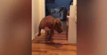 Sweet Pittie is a Scaredy Cat. Watch Him Tiptoe Past the Feline Hideout!