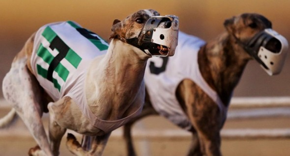 The speedy dogs raced their last this past Saturday. Photo: Mike Christy/Arizona Daily Star ------------------------------------