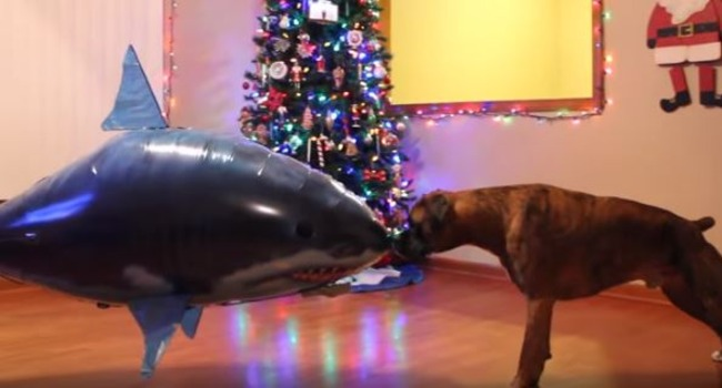"Video: Boxer vs. Shark (cue the ""Jaws"" theme….)"