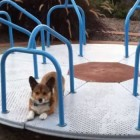 Corgi on a Carousel!