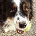"Washington State Police Warn Dog Owners of ""Tennis Ball Bombs"""