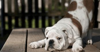 freddie the great dane britain's biggest dog