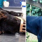 Dog Being Eaten Alive by Thousands of Ticks Recovers & Is Adopted