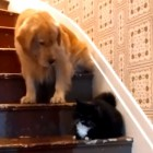 Brave German Shepherd Helps Brother Get Down the Stairs by Taking On Nasty, Stair-Hogging Cat