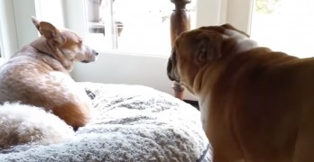 Bulldog Puts Up an ENORMOUS Fuss When His Siblings Won't Make Room