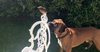 Big Goofy Boxer Rescues and Adopts Orphaned Baby Bird