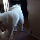 Adorable Fluffy Dog Does Happy Dance for His New Toy