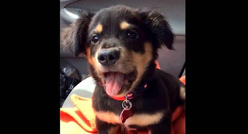 Puppy Throws Cutest Temper Tantrum When Not Allowed On Foster Moms