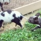 Piglet and Frenchie Best Friends Make for the Cutest Thing You'll See All Day!