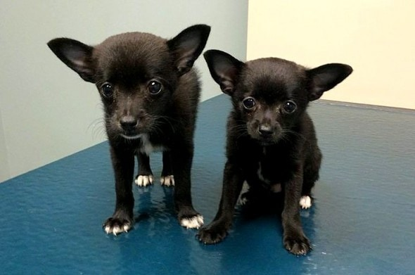 7.19.16 - Bat Puppies With Parvo Rescued From a Box1
