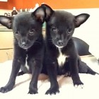 """Bat"" Puppies With Parvo Rescued From a Box in a Hot Chicago Alley"