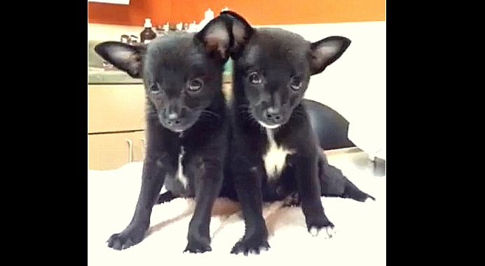 """""""Bat"""" Puppies With Parvo Rescued From a Box in a Hot Chicago Alley"""