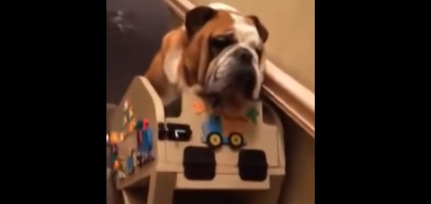 Hank the Bulldog's Humans Built Him a Really Cool Custom Chairlift to Help Him Use the Stairs!