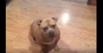 Pit Bull With the Most Adorable Ears Does a Happy Dance for Food