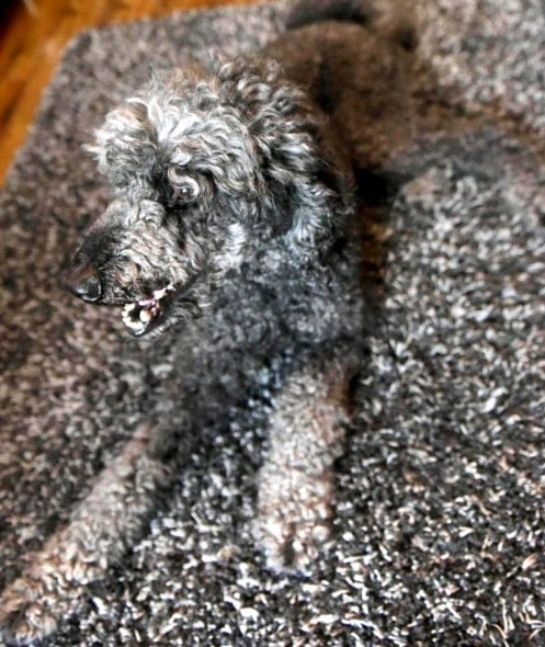 7.25.16 - UK Famiglia Mantiene inciampare Camo Canine3
