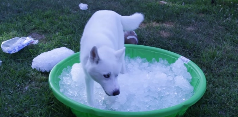 Siberian Husky Goes Completely Bananas Over Kiddie-Pool Filled with Ice