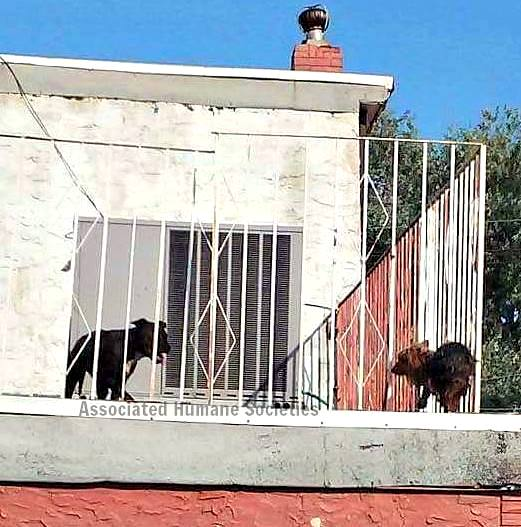 7.26.16 - Dogs Forced to Live on a Roof Rescued from the Bubbling Tar1