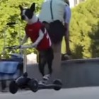 Meet Gizmo and Mia, Two Boston Terriers That Totally Rock at Riding a Scooter