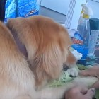 Dog Helps Get Corn Prepared for Family Cookout Party