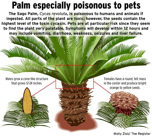 warning sago palm plant is a danger for your pets