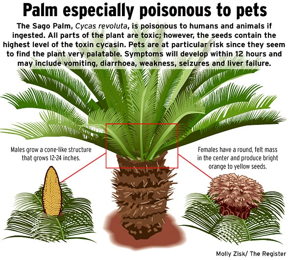 images of sago palms