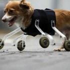 Legless Dog Has Unique Way to Get Around