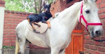 Horse & Doberman Share Beautiful Friendship