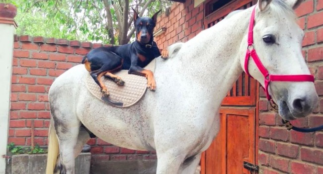 Horse & Doberman Share Beautiful Friendship