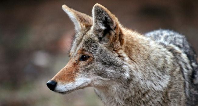 Dog Killed by Coyotes in Suburban Richmond, VA
