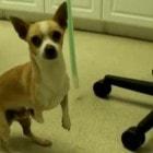 Cute Rescue Pooch Walks Upright!