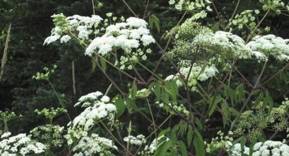 Throughout North America, water hemlock can be found in lakes, rivers, streams, or in marshy areas. Photo: Wikipedia ..............................................................................