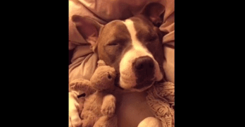 Pit Bull Accurately Demonstrates Human Sleeping