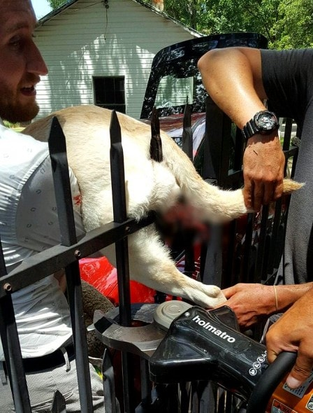 8.1.16 - Firefighters Rush to Save Dog Who Impaled Himself on a Fence4