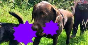 "Labrador Retrieves a Colossal ""Toy"" While Out on a Walk"