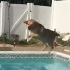 Cody the Labrador Plays His Favorite Summer Game in the Pool