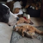 Katie the Great Dane Doesn't Like When Jack the Cat Plays With Her Toys