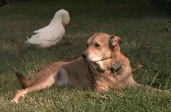 Depressed Dog from Tennessee Becomes Best Friends with a Duck