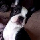 8.18.16 - Boston terrier farts