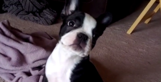 Boston Terrier Scares Herself With Her Own Farts