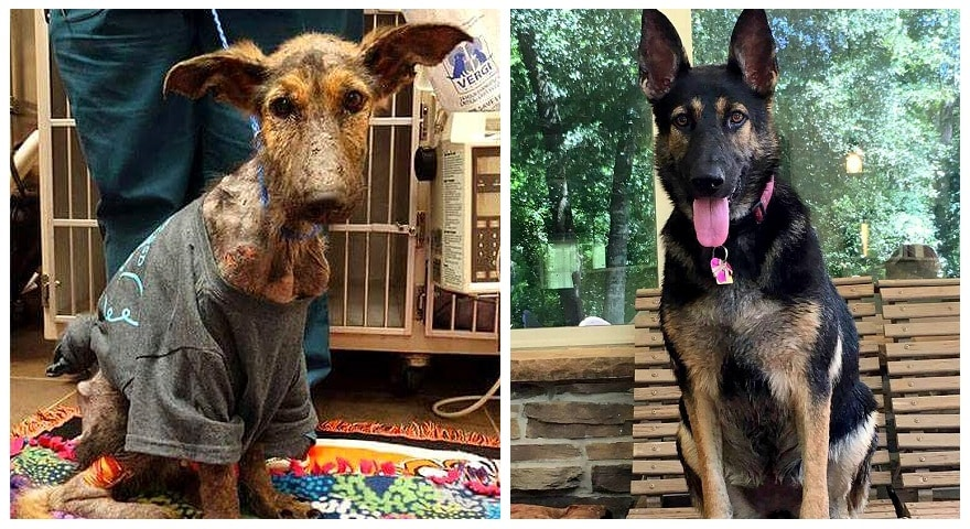 Abandoned German Shepherd Who Had Given Up on Life Makes an Astonishing Recovery
