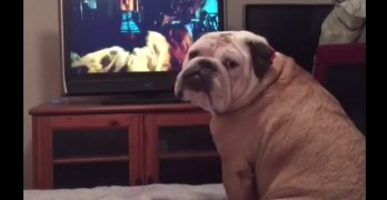 Silly Bulldog Tries to Protect Someone on the TV in a Scary Movie