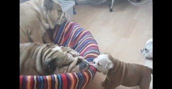 Baby Bulldog Tries Waking Up Mom to Play