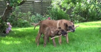 Two Dogs Finally Figure Out How to Play With One Stick